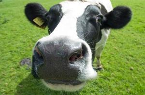 It's a cow!